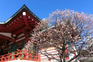亀戸天神社 本殿と梅
