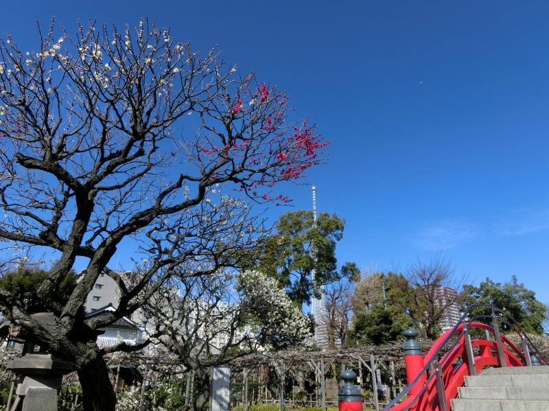 梅と太鼓橋とスカイツリー