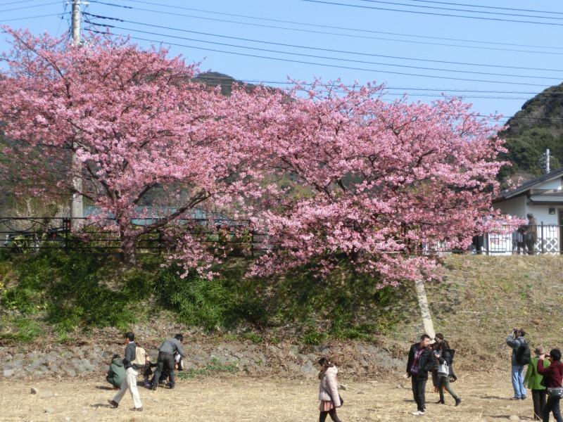 川岸の河津桜