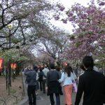 桜の通り抜けとぼんぼり
