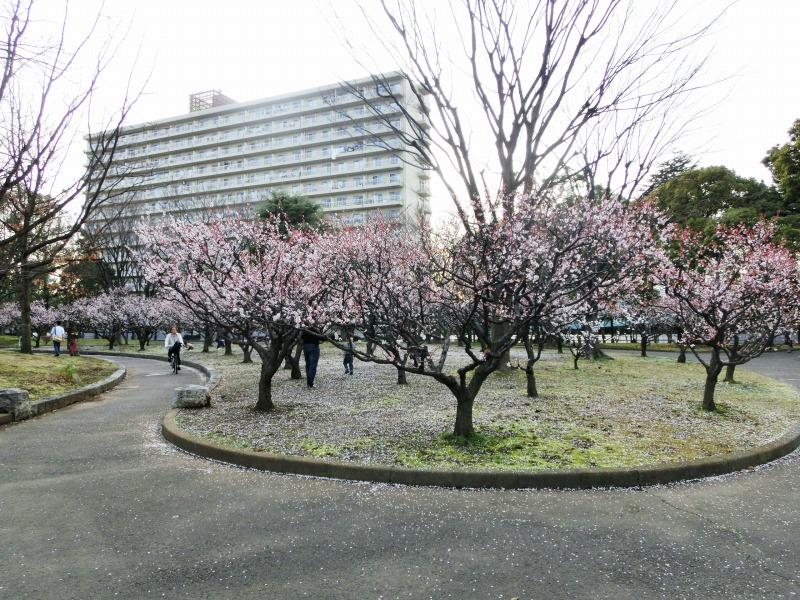 亀戸中央公園のB地区の梅