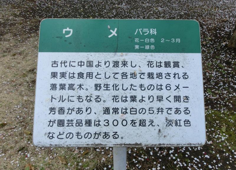 梅の説明看板