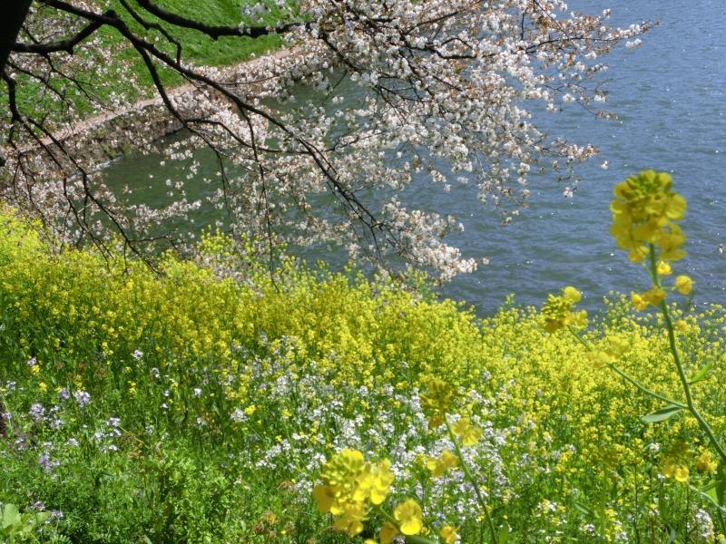 葉の花と桜