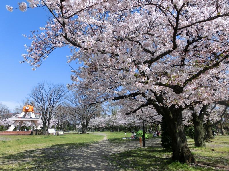 亀戸中央公園 A地区桜