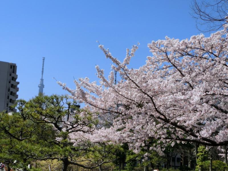 亀戸中央公園 スカイツリーを望む