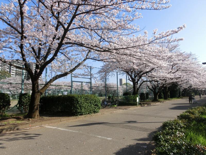 グラウンドの周りの桜