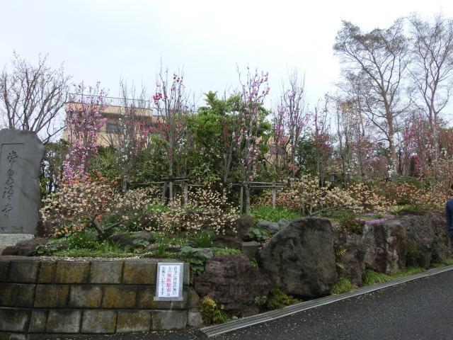 花桃と三椏の参道