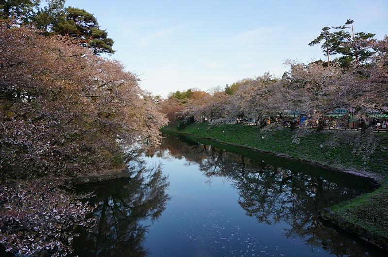 濠を囲む桜