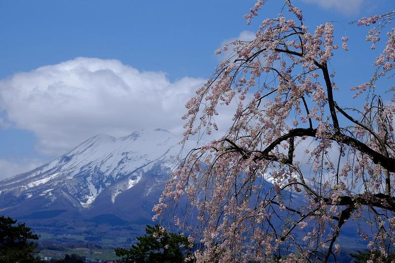 シダレ桜と山