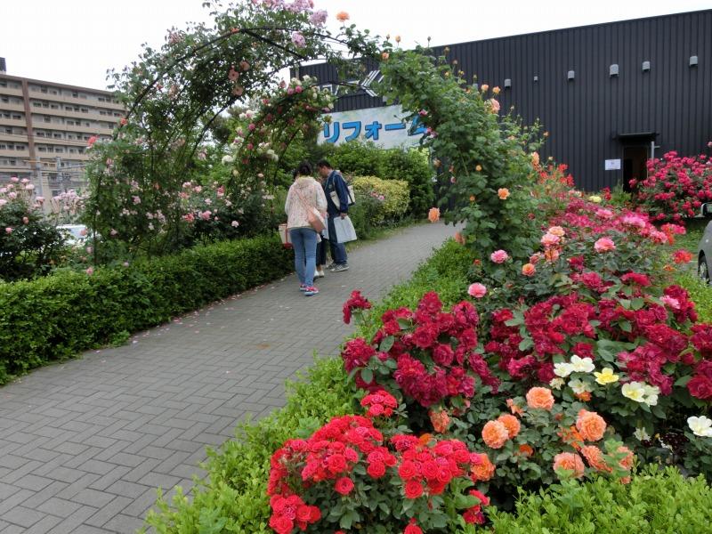 ヨコハマくらし館前のバラ