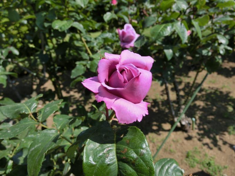 ローズ色のバラ
