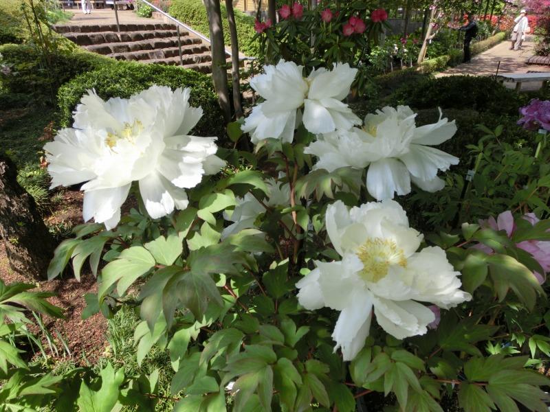 白いぼたんの花