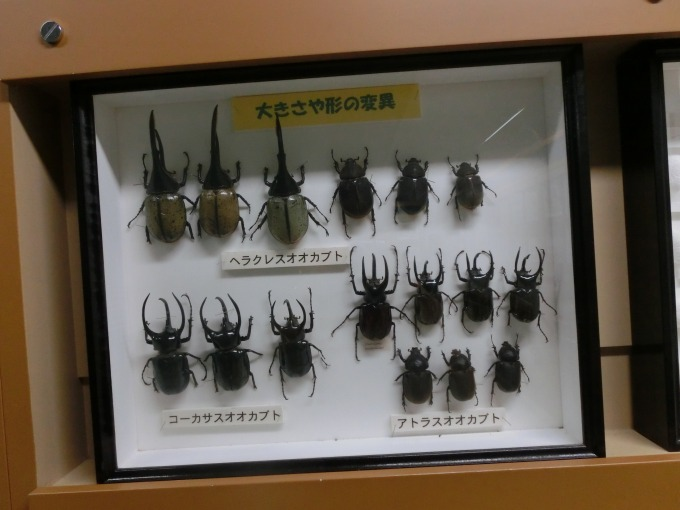 クワガタ虫の標本