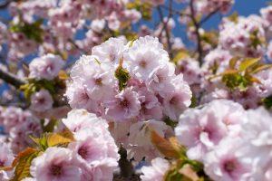 松前公園の桜