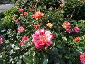 松尾邸のバラ